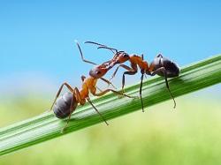 Ants - 250